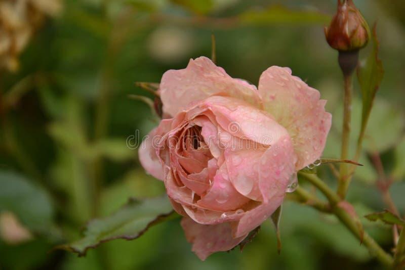 Mamy ` s kwiat w jesień ogródzie zdjęcie royalty free