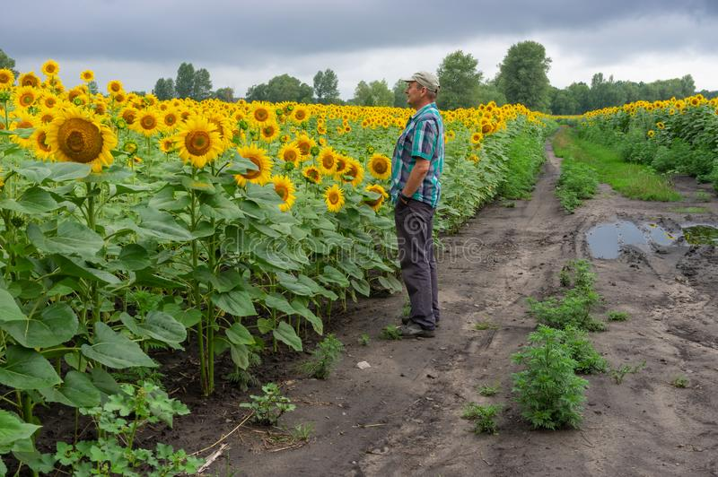 Man admiring at flowering sunflowers field while standing on a dirty road between agricultural fields. Mature man admiring at flowering sunflowers field while stock photography