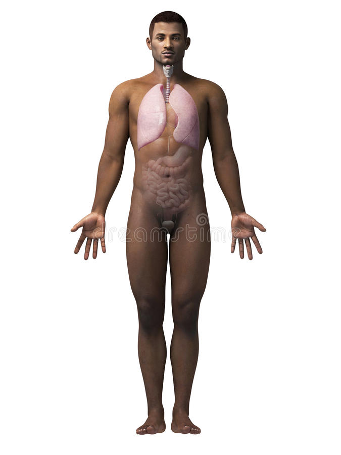 Man anatomy - lung. Anatomy of an african american man - lung royalty free illustration