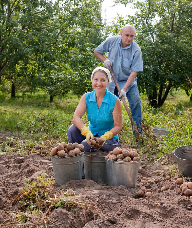 Free Man And Woman Harvested Potatoes Royalty Free Stock Photos - 26034858
