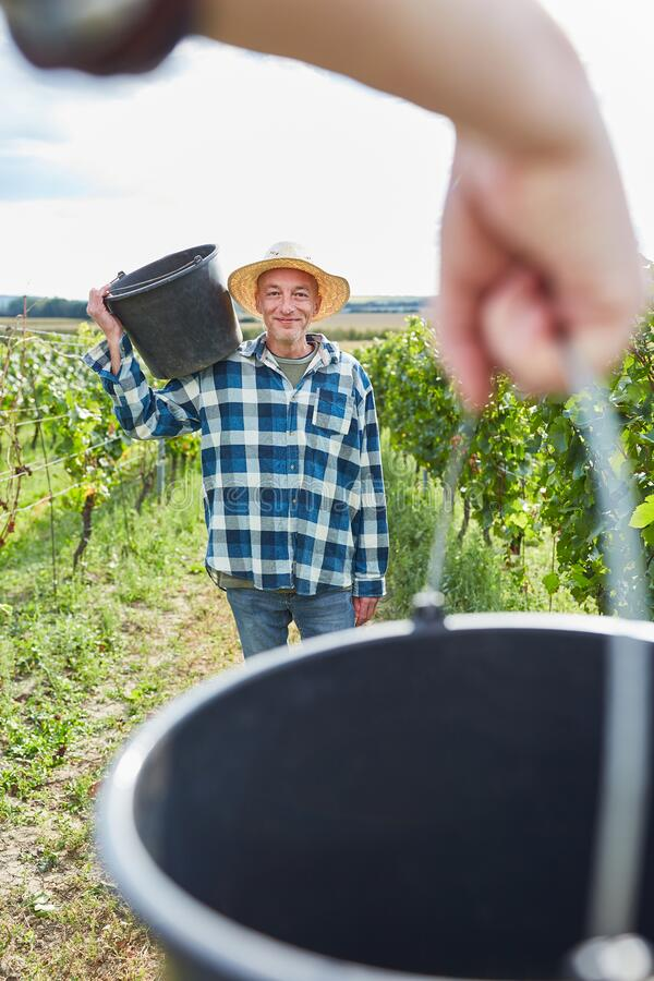 Man as harvest worker with bucket in the vineyard stock photo
