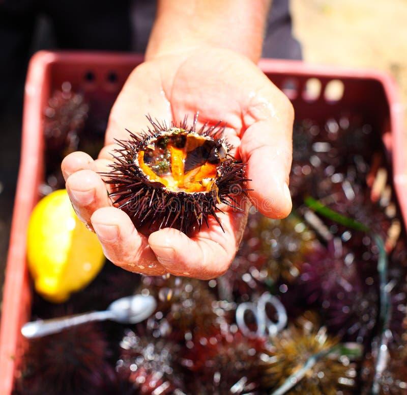 Man att rymma en havsgatubarn med citronen för att äta den arkivfoton
