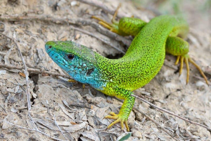 Man av den gröna ödlan - Lacertaviridis fotografering för bildbyråer