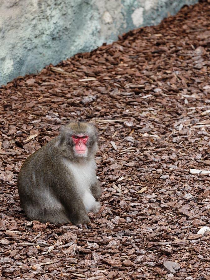 Man av den japanska macaquen royaltyfria bilder