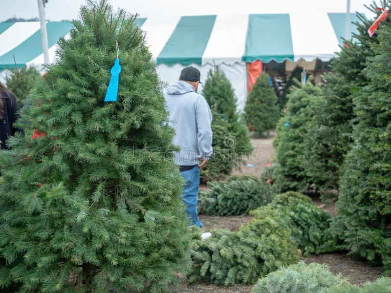 Man in baseball cap does Christmas Xmas tree shopping in tree market with douglas fir tree in in front stock images