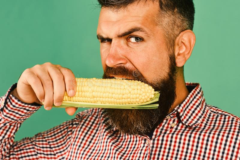 Man with beard holds corn cobs isolated on green background, close up. Farmer with hungry face holds yellow corn in. Mouth. Guy shows his harvest. Farming and royalty free stock photography
