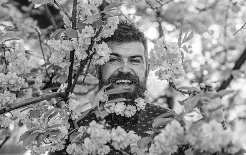 Man with beard and mustache on happy face near pink flowers. Hipster with sakura blossom in beard. Bearded man with. Fresh haircut with bloom of sakura on stock images