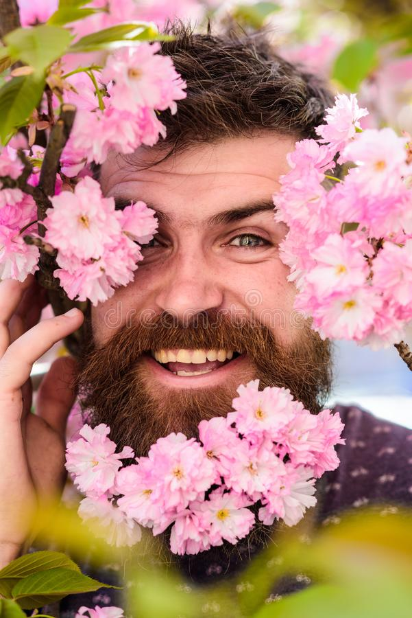 Man with beard and mustache on happy face near tender pink flowers, close up. Hipster with sakura blossom in beard. Skin. Care and hair care concept. Bearded royalty free stock images
