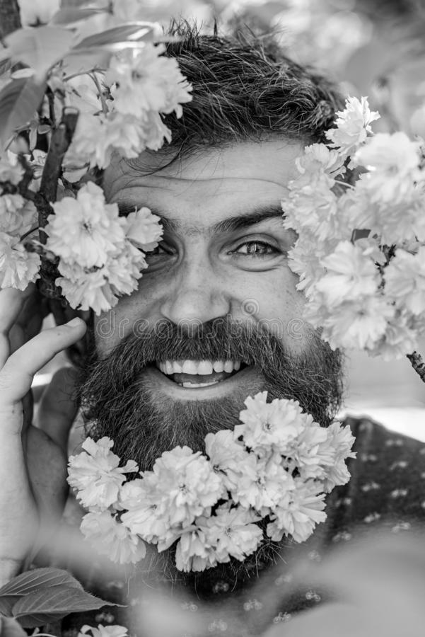 Man with beard and mustache on happy face near tender pink flowers, close up. Hipster with sakura blossom in beard. Skin. Care and hair care concept. Bearded royalty free stock image