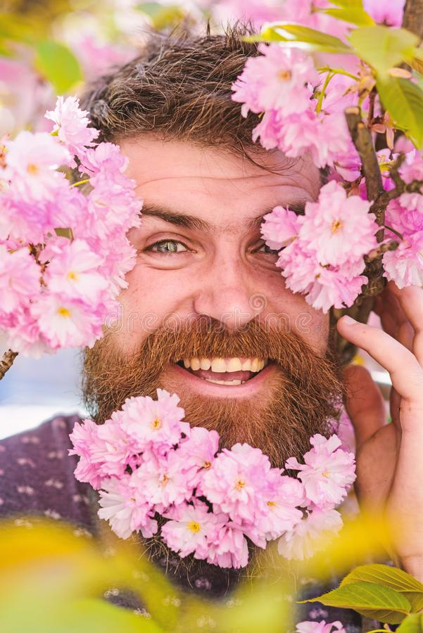Man with beard and mustache on happy face near tender pink flowers, close up. Hipster with sakura blossom in beard. Skin. Care and hair care concept. Bearded royalty free stock photography