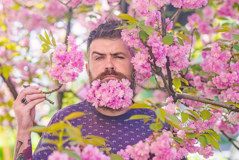 Man with beard and mustache on strict face near tender pink flowers. Hipster with sakura blossom in beard. Bearded man royalty free stock image
