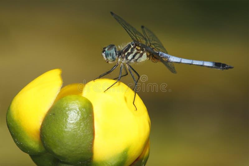 Man blåa Dasher på en lilja för gult damm royaltyfria bilder