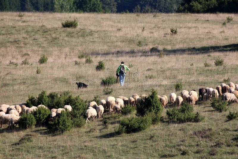 Man with black dog walking in front of flock of sheep on side of small hill covered with uncut grass and small forest vegetation stock photo