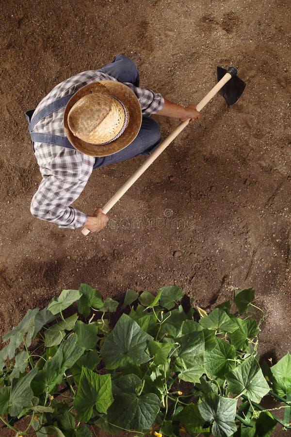 Man bonden som arbetar med hackan i grönsakträdgården som hackar jorden royaltyfri bild
