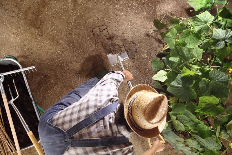 Man bonden som arbetar med spaden i grönsakträdgård, bryt upp och royaltyfria foton