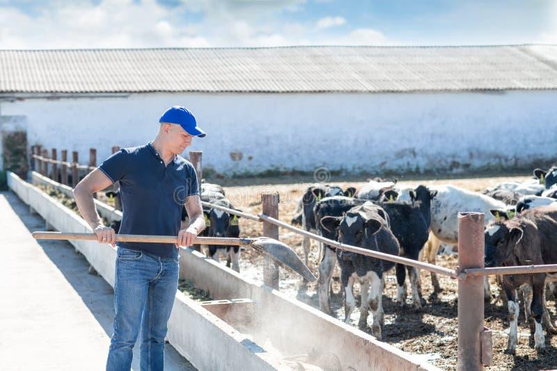 Man bonden som arbetar på lantgård med mejerikor arkivfoto