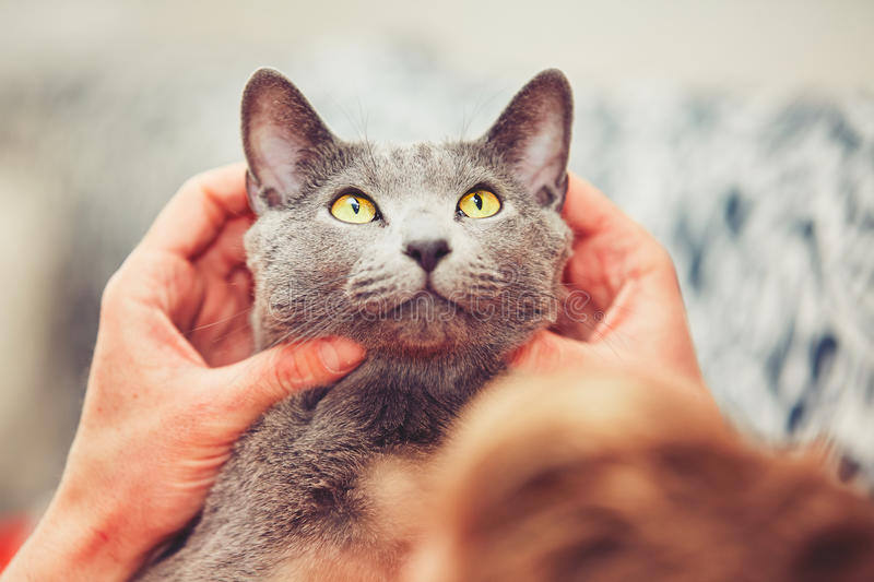 Man with cat. Hand of young man with his russian blue cat stock photo