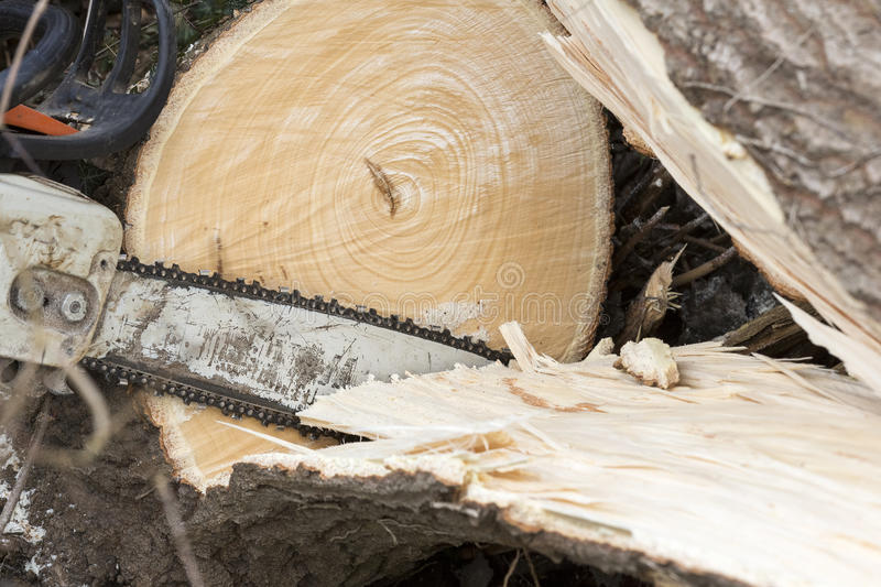 Man with chainsaw cutting the tree. Forest outdoor stock photography