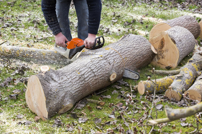 Man with chainsaw cutting the tree. Forest outdoor stock photos