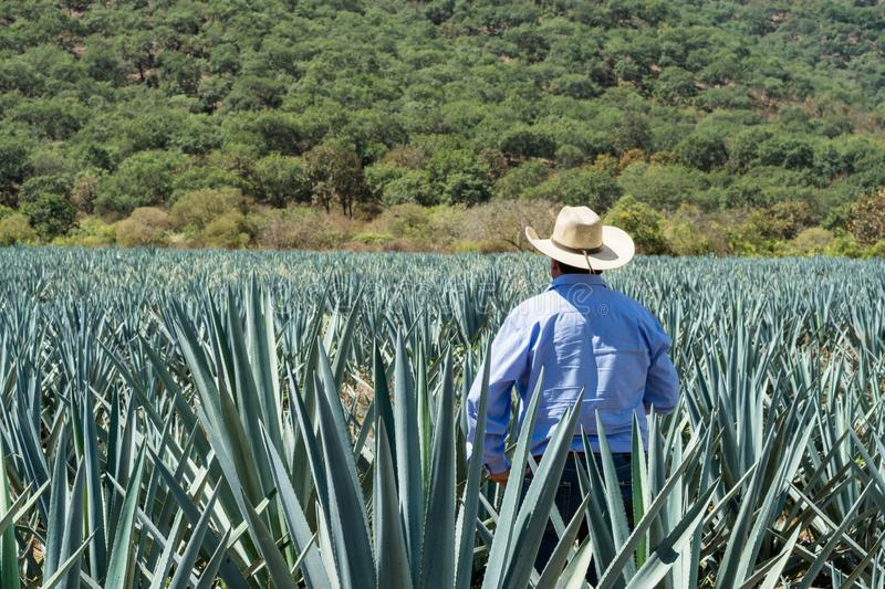 The man is checking the agave plantations to make the tequila. People observe the agave fields in the magical town of Tequila Jalisco, Mexico royalty free stock images