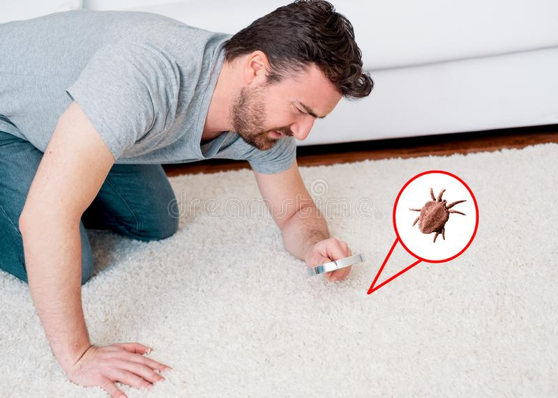 Man checking for carpet dust mites and bug parasites. Man searching house dust mites and bug parasites stock photo