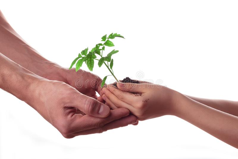 Man and child holding soil with tomato seedling isolated on white. Family, gardening stock photos