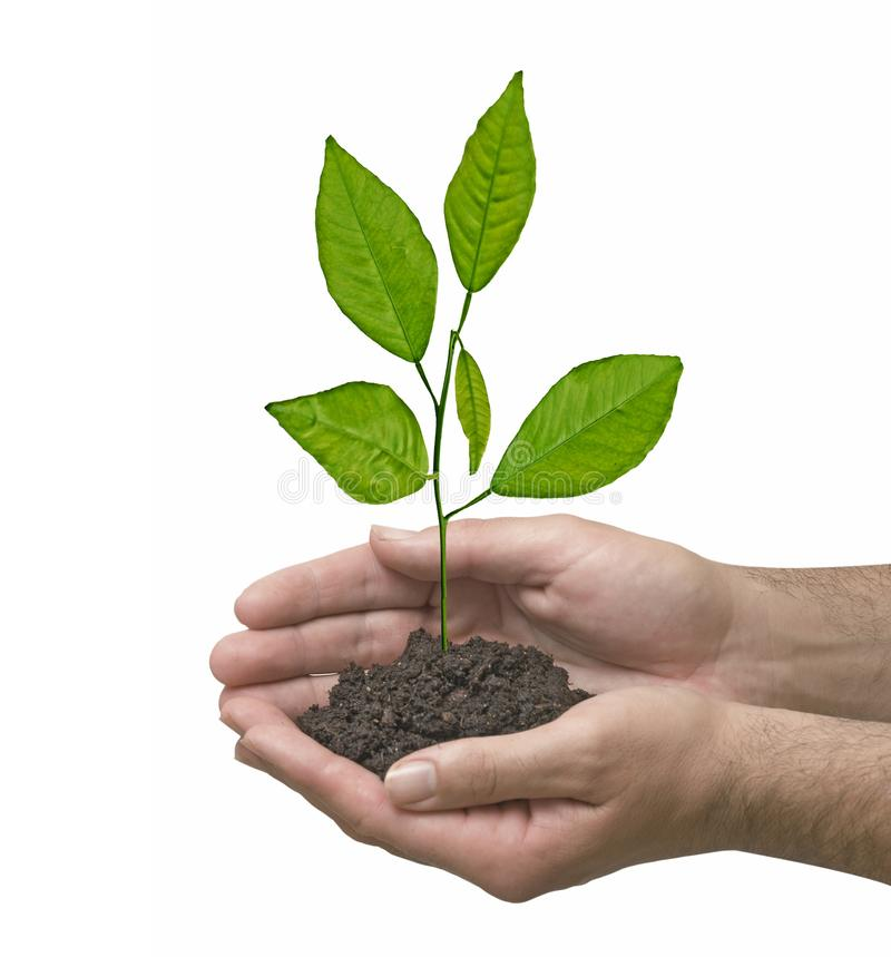 Citrus sapling in hands. Man with citrus sapling in hands stock photo