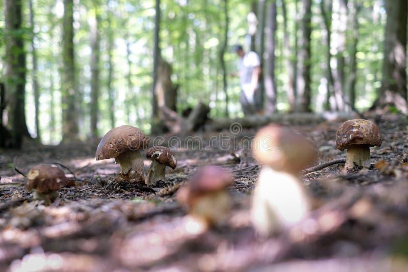 Man collect mushrooms stock photos