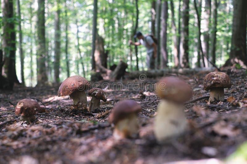 Man collect mushrooms royalty free stock photo