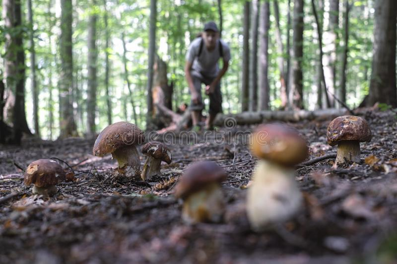 Man collect mushrooms stock images