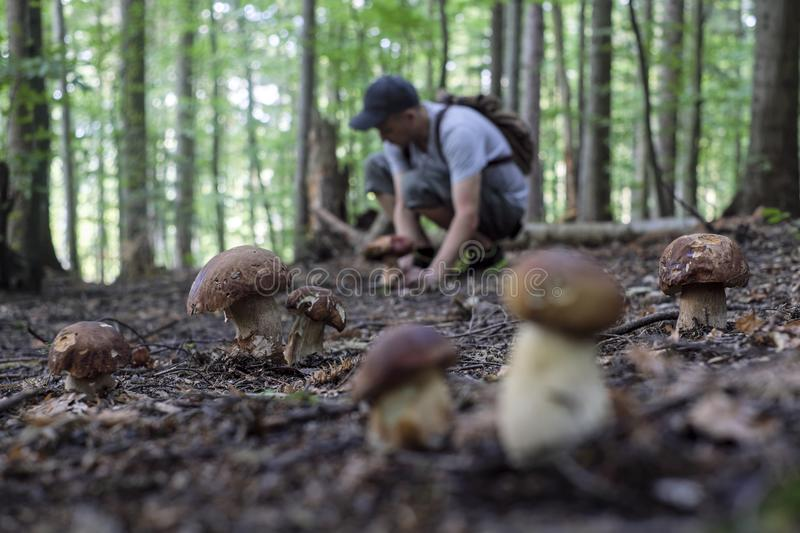 Man collect mushrooms royalty free stock photography