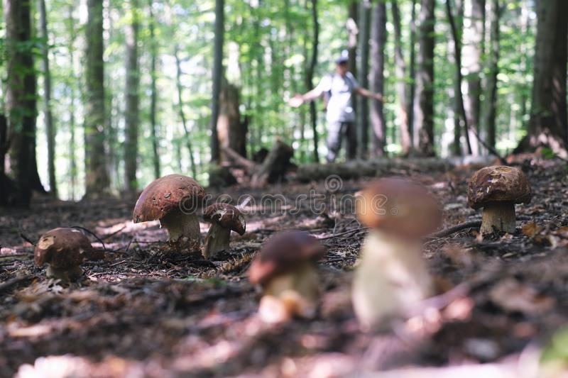 Man collect mushrooms royalty free stock images