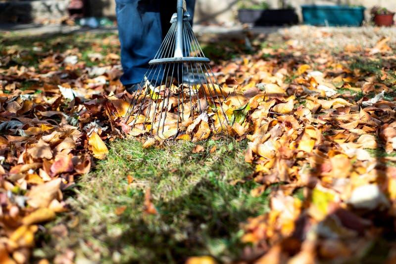 Man collecting fallen autumn leaves in the yard. Man collecting fallen autumn leaves in the backyard, rake, raking, male, clean, season, leafs, garden, colorful royalty free stock image
