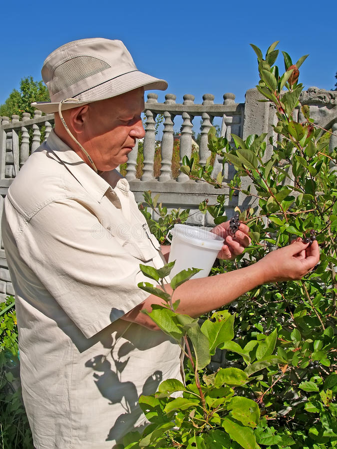 The man collects a chernoplodny mountain ash at a dacha royalty free stock photos