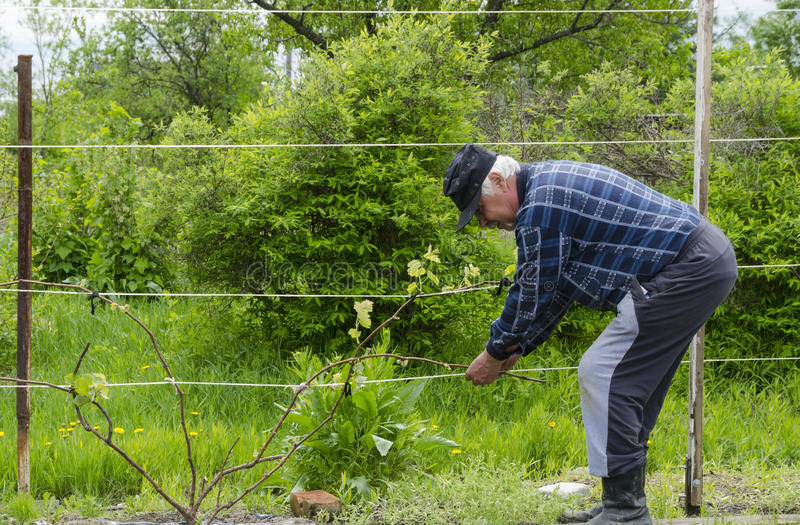 The man in the country raises grapes. royalty free stock photos
