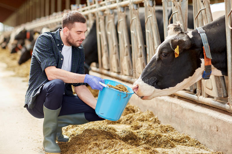 Man with cows and bucket in cowshed on dairy farm. Agriculture industry, farming, people and animal husbandry concept - young man or farmer with cows and bucket royalty free stock photos