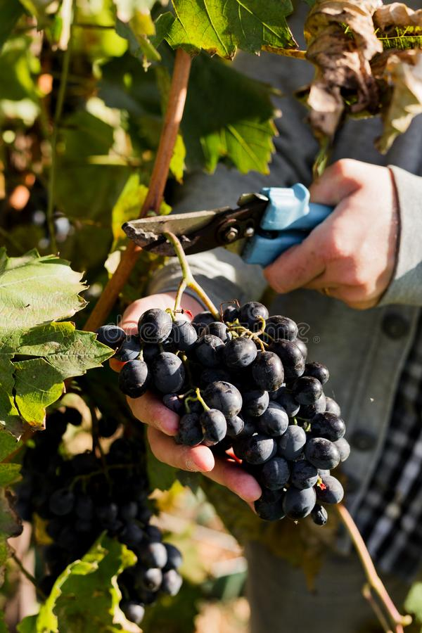 Man crop ripe bunch of black grapes on vine. Male hands picking Autumn grapes harvest for wine making In Vineyard. Cabernet stock photo