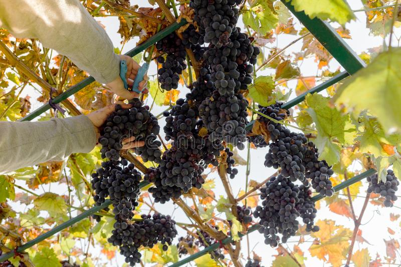 Man crop ripe bunch of black grapes on vine. Male hands picking Autumn grapes harvest for wine making In Vineyard. Cabernet royalty free stock photos