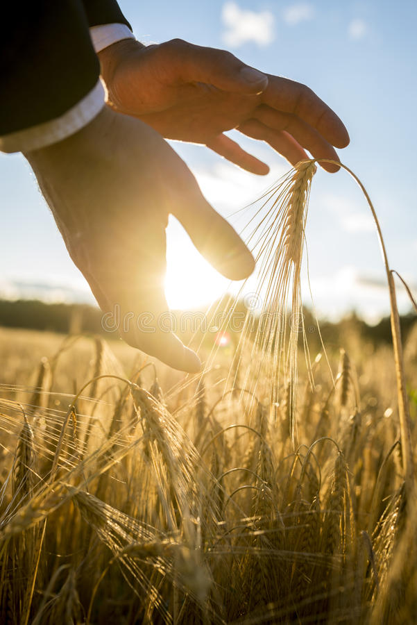 Man cupping the rising sun and wheat in his hands. Businessman cupping the rising sun and an ear of golden wheat in his hands above a rural field of ripening royalty free stock photography