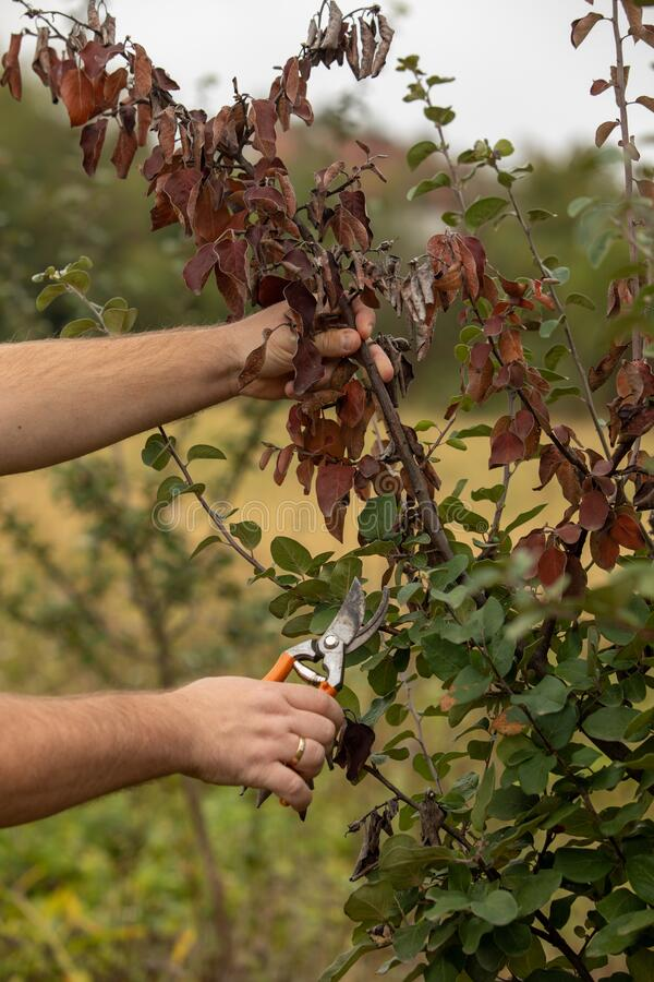 Free Man Cut Brunch Infected With Fire Blight, Fireblight, Quince Apple And Pear Disease, Caused By Bacteria Erwinia Amylovora Stock Image - 199517251