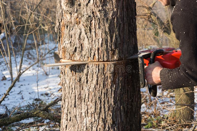 A man cuts a chainsaw trunk and branches of a tree. Rejuvenation of a tree in the winter. Gardening. Firewood royalty free stock photo