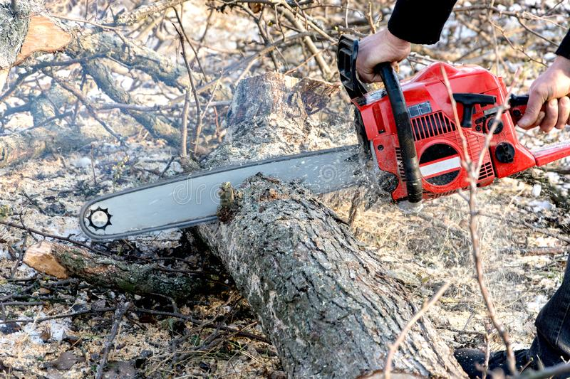 A man cuts a chainsaw trunk and branches of a tree. Rejuvenation of a tree in the winter. Gardening. Firewood stock photo