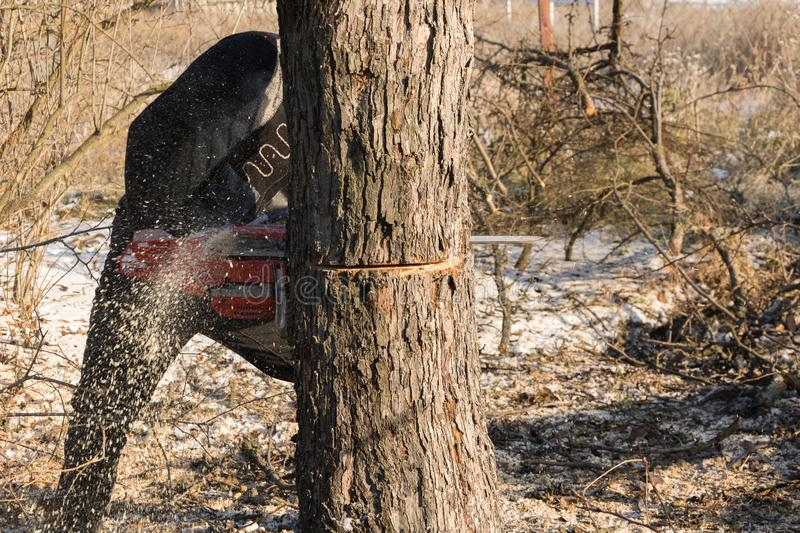 A man cuts a chainsaw trunk and branches of a tree. Rejuvenation of a tree in the winter. Gardening. Firewood royalty free stock image