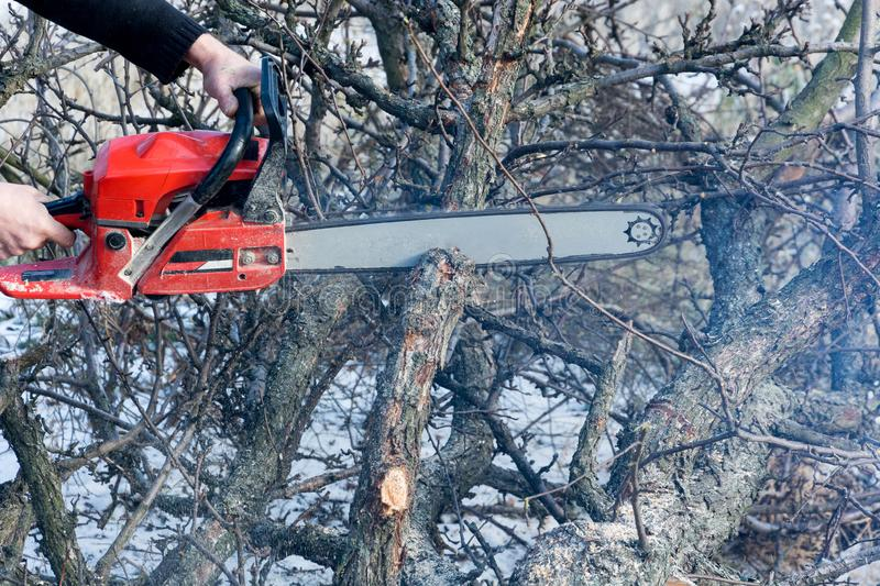 A man cuts a chainsaw trunk and branches of a tree. Rejuvenation of a tree in the winter. Gardening. Firewood stock images
