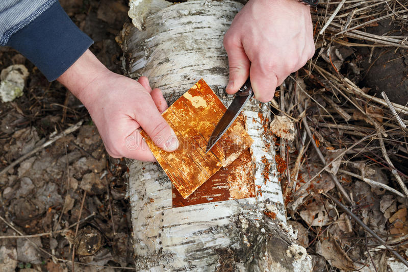 Man cuts off the bark from the fallen trunk of a birch. stock photography