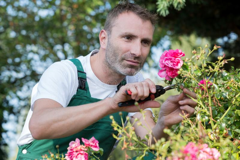 Man cuts off rose in garden stock images