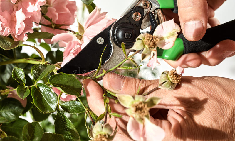 Man cutting dead flowers of a rose bush stock photos