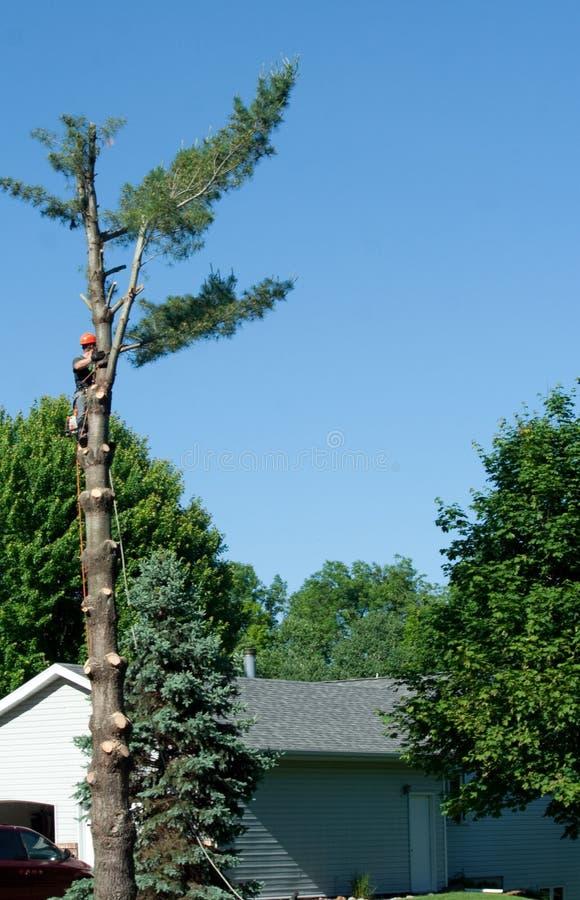 Man Cutting Down Tree royalty free stock photo