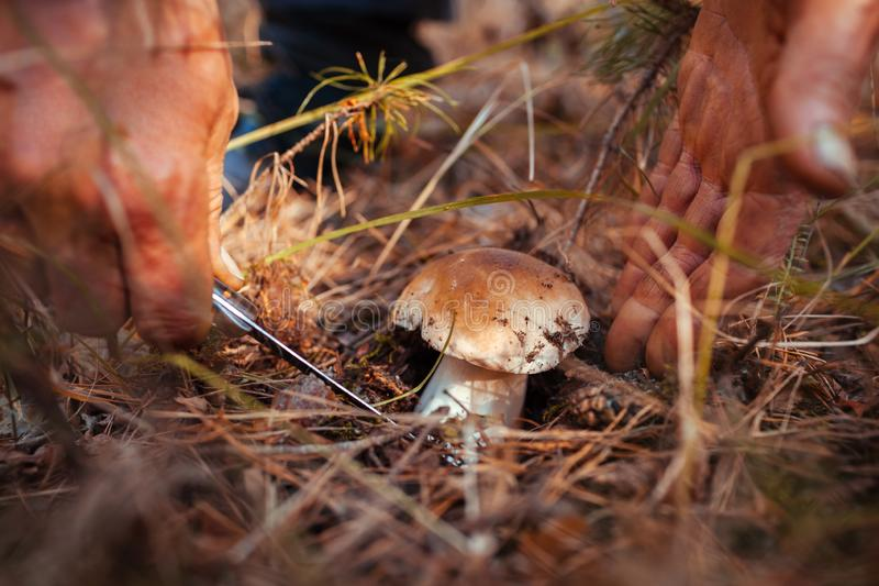 Man cutting off Porcini mushroom in autumn forest. Season of gathering mushrooms royalty free stock image