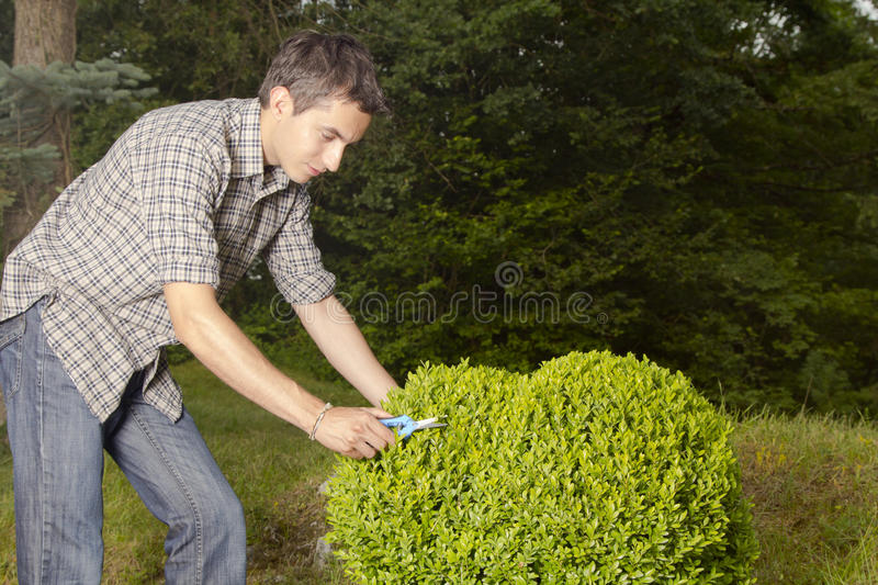 Download Man Cutting And Trimming Box Tree Heart Stock Image - Image: 25433951